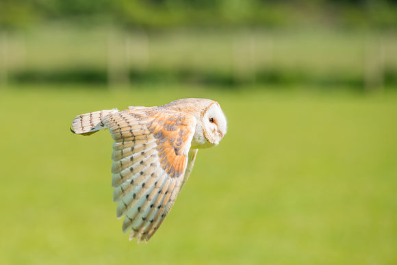 'Flying Low' - Barn Owl in Flight