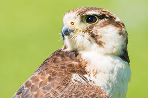 'Portrait No. 1' - Female Kestrel