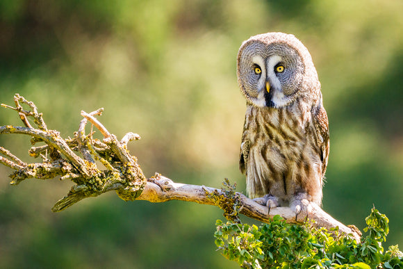 'In the Distance' Great Grey Owl Sitting on a Tree Branch North Wales