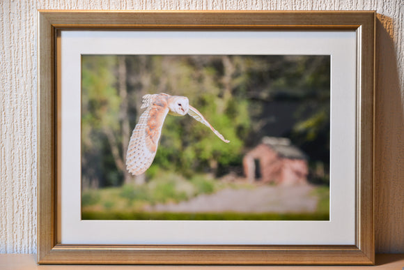 Barn Owl in Flight - Mounted & Framed Photograph - Ex Display - Smart Imaging & Framing