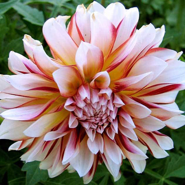 DAHLIA TUBERS~CARIBBEAN FANTASY~SHOWY BICOLOR RED & WHITE FLOWERS EZ BULB PLANT