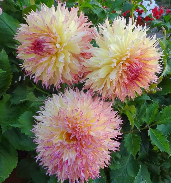 DAHLIA ~MYRTLE'S FOLLY~ INCREDIBLE FUZZY CACTUS-STYLE FLOWERS BULB TUBER PLANTS