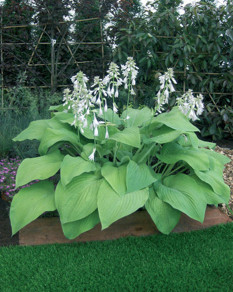 HOSTA 'T-REX' LIVE SHADE PLANT DORMANT, SINGLE EYE ROOT DIVISION HARDY PERENNIAL