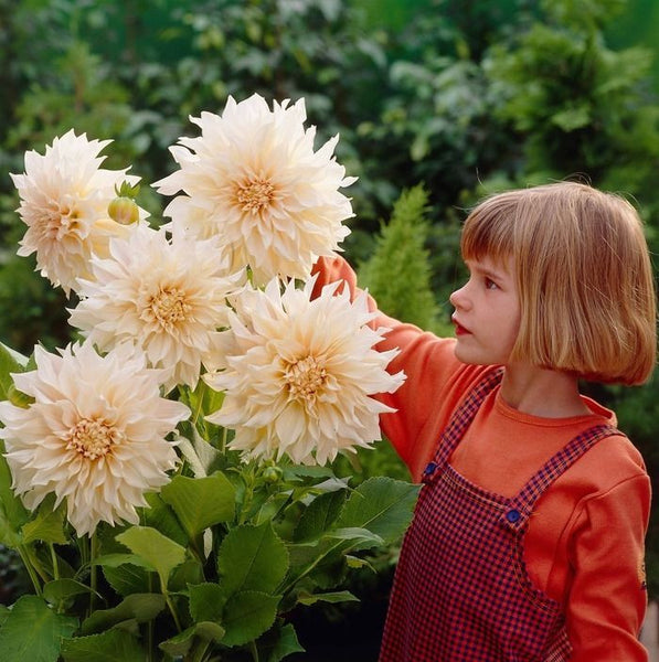 DAHLIA TUBERS~CAFE AU LAIT~BIG SHOWY FLOWERS ARE A TRAFFIC STOPPER! GROW THESE!!