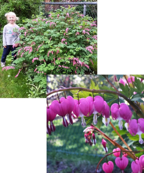 DICENTRA SPECTABILIS BLEEDING HEART PLANT SHADE PERENNIAL LARGE ROOTS (2-3 EYES)