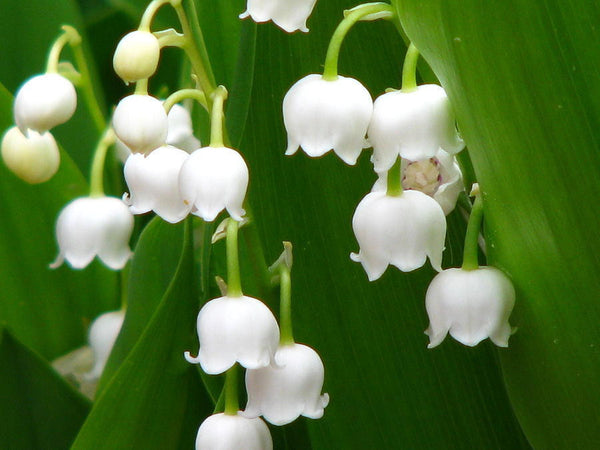 LILY OF THE VALLEY PLANTS CONVALLARIA MAJALIS FRAGRANT SPRING SHADE FLOWER APRIL