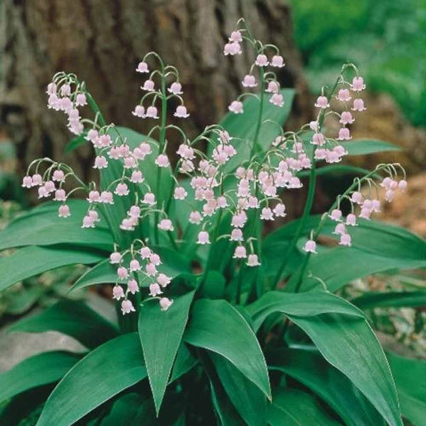 CONVALLARIA MAJALIS 'ROSEA'~PINK LILY OF THE VALLEY~SHOWY FRAGRANT SHADE PLANTS