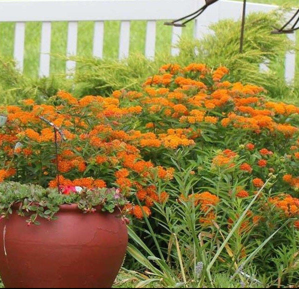 ASCLEPIAS BUTTERFLY MILKWEED PERENNIAL PLANT ORANGE FLOWERS ATTRACT BUTTERFLIES!