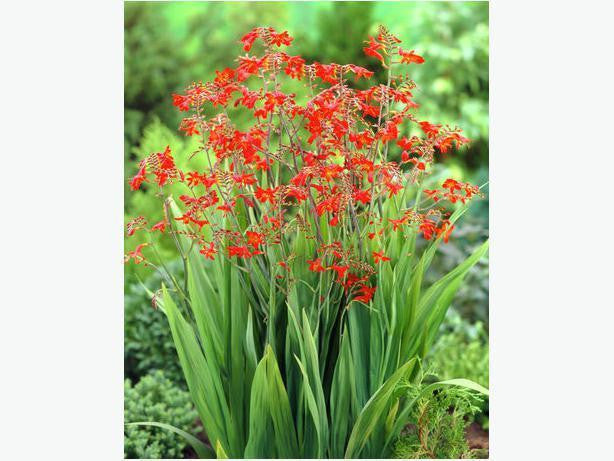 CROCOSMIA 'EMBERGLOW' FIRE LILY BULBS HUMMINGBIRD FEEDER FLOWER PERENNIAL PLANT