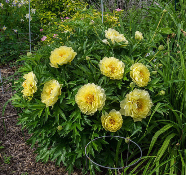 PEONY 'BARTZELLA' 2/3 EYE ROOT PLANT PERENNIAL FLOWERS ~ WHY WAIST TIME ON SEED?