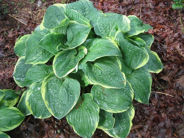 "Hosta 'Christmas Tree' Large Shade Plant Green Variegated Leaves *2.5"" live potted plant"