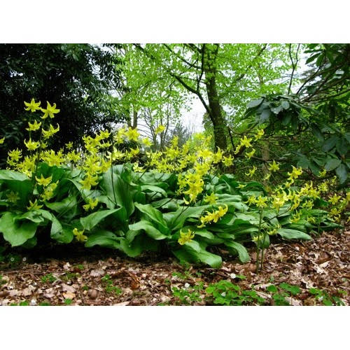 Perennial Trout Lily Bulbs ~Erythronium pagoda~ Hardy Spring flowers April to May Blooms! Fall Shipping Begins 9/22/2019