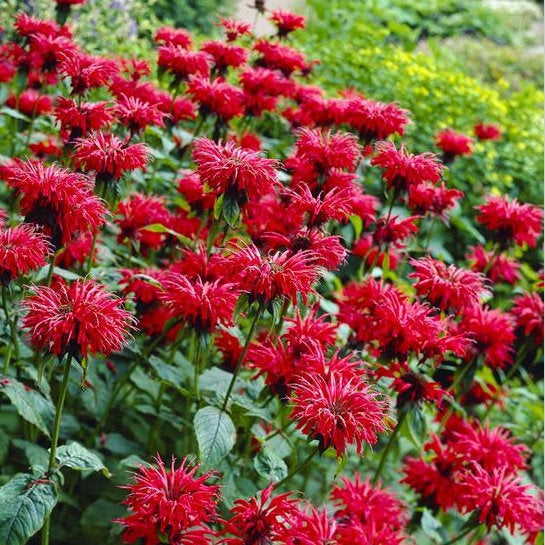 Monarda didyma GARDENVIEW SCARLET Live Bee Balm Plant Attract Butterflies Hummingbirds Red Flowers Summer Bloom Mint Relative Tea FRAGRANT!!