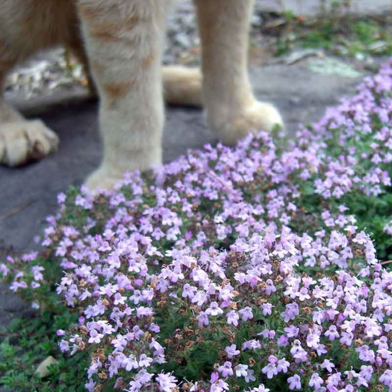 Thymus pseudolanuginosus WOOLLY THYME Plant Very Low Growing Mat Forming Perennial Flowers Tolerates foot traffic between stepping stones!!!