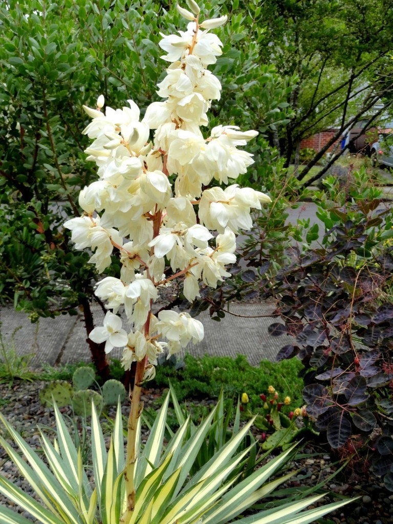 Yucca filamentosa 'Color Guard' VARIEGATED ADAM'S NEEDLE Live Plant Attract Butterflies Creamy White June to July Blooms 5 to 8 feet tall!!!