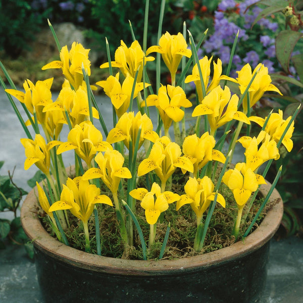 Iris 'Danfordiae' Flower Bulbs Hardy Perennial Flowers every Late Winter / Early Spring Fall Shipping Begins 9/22/2019