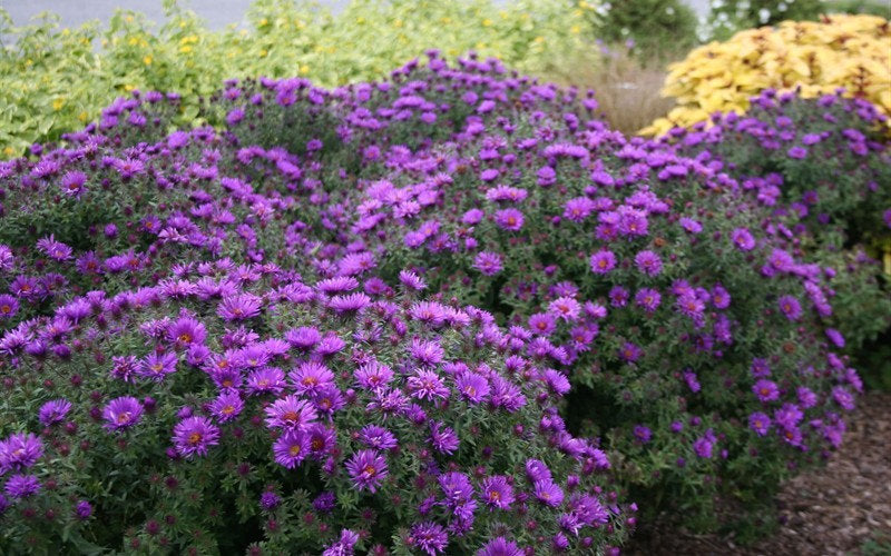 New England Aster 'PURPLE DOME' Daisy-like Late Summer-Fall Flowers Live Plants Full Sun Perennial Flowers Attract Butterflies