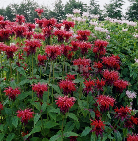 Monarda didyma MAHOGANY Live Bee Balm Plant Attract Butterflies Hummingbirds Deep Wine Red Flowers Summer Bloom Mint Relative Tea FRAGRANT!!