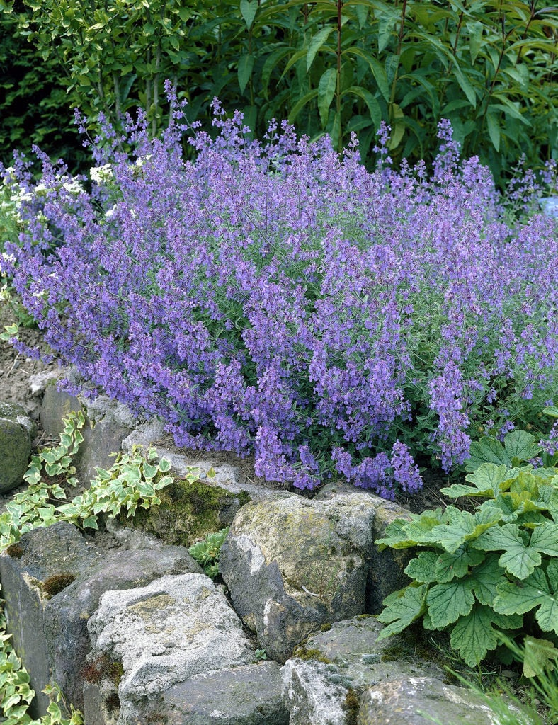Nepeta racemosa BLUE WONDER Catmint Live Perennial Plant Attract Butterflies Hummingbirds Blue Flowers Summer to Fall Bloom Mint Relative