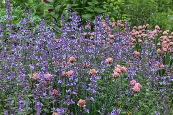 Nepeta faassenii KIT KAT Catmint Live Perennial Plant Attract Butterflies Hummingbirds Blue Flowers Summer to Fall Aromatic Foliage Lavender