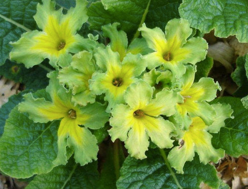 Primula vulgaris 'Francesca' GREEN PRIMROSE Hardy Perennial Plant Semi-shade Easy to Grow Flowers Hardy Zones 4-8
