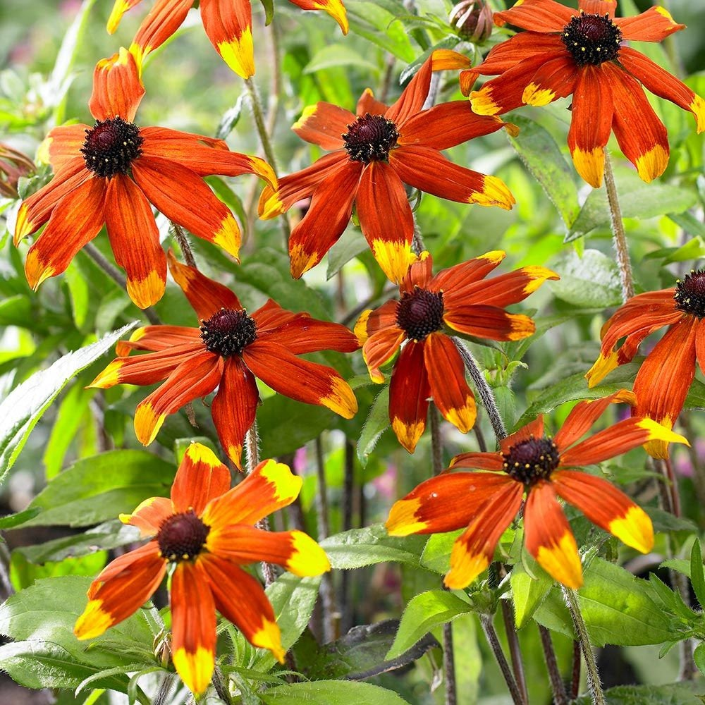 Rudbeckia PRAIRIE GLOW Incredibly Showy Orange-Red & Gold Black-Eyed Susan Plants Attract Butterflies, Honey Bees Late Summer to Fall Bloom