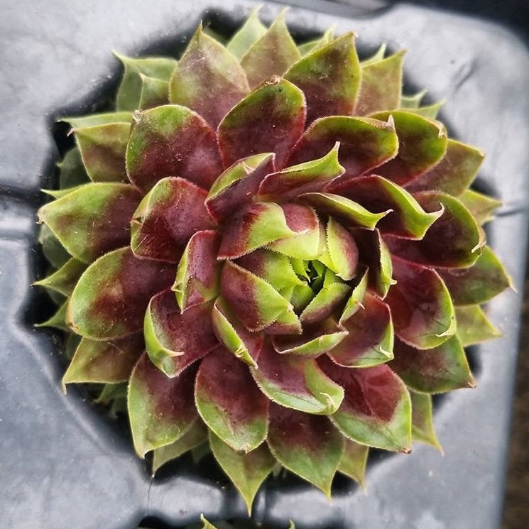 Sempervivum 'Killer' Hens and Chicks Live Succulent, Hardy Zones: 4-8 Great Rock Garden, Container, Fairy garden plant easy drought tolerant