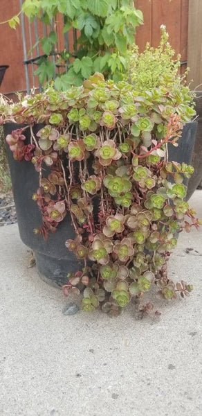 Sedum spurium 'Schorbuser Blut' DRAGON'S BLOOD Live Succulent Plant, Hardy Zones: 5-9 Great Rock Garden, Container, Fairy garden plant easy