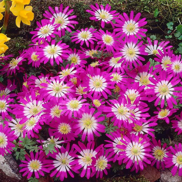 Pink Star Anemone Grecian Windflower bulbs short plants blue white and pink flowers EASY TO GROW Fall bulbs Shipping begins 9/22/2019