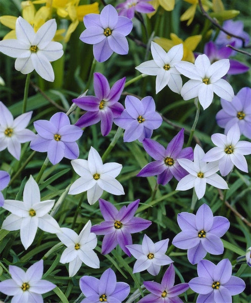 Ipheion 'Starry Nights Mix' Spring Starflower bulbs plants-stunning blue flowers EASY TO GROW-Deer Resistant Fall Shipping Begins 9/22/2019