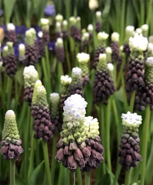 Muscari 'Grape Ice' Bicolor Grape Hyacinth flower bulbs EASY TO GROW Honey bee/bumble bee friendly Deer Resistant Shipping Begins 9/22/2019