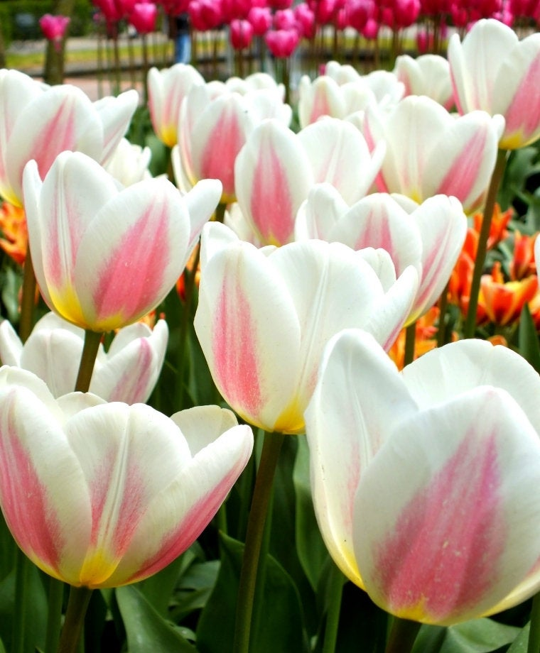Triumph Tulip 'BEAU MONDE' Flower Bulbs Plant for Fragrant Chalice-shaped Flowers Perennial Every Spring Fall Bulb Shipping Begins 9/22/2019