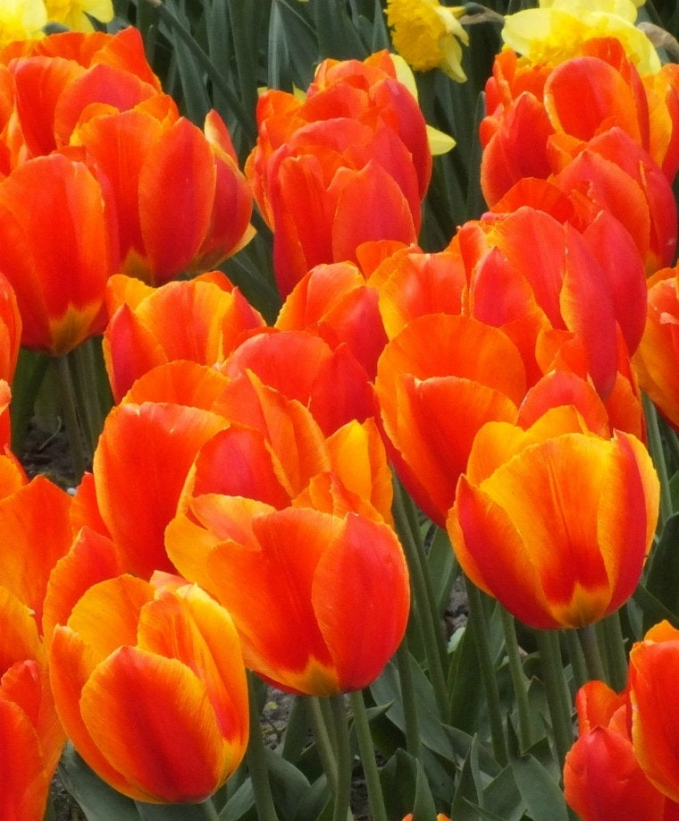Single Early Tulip 'Flair' Flower Bulbs Plant Blazing Ruby Red w/Yellow edges Hardy Perennial Spring Flowers! Fall Shipping Begins 9/22/2019