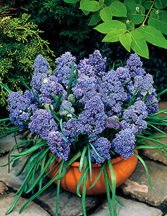 Muscari 'Fantasy Creation' Grape Hyacinth flower bulbs EASY TO GROW Honey bee/bumble bee friendly Fragrant Fall Shipping Begins 9/22/2019