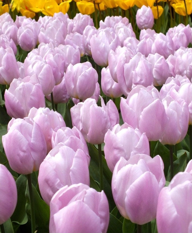 Single Early Tulip 'Candy Prince' Flower Bulbs Plant for Very Attractive Pink Hardy Perennial Flowers Spring Fall Shipping Begins 9/22/2019