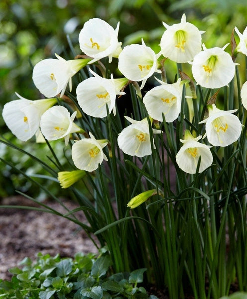 Narcissus bulbocodium 'White Petticoat' Daffodil Flower Bulbs Deer Resistant Perennial Plants easy 2 grow outdoors Shipping Begins 9/22/2019