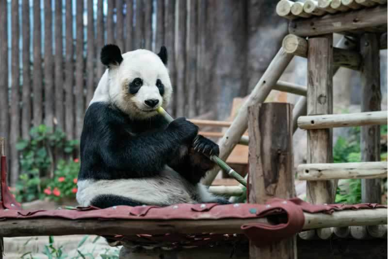 5 Facts About Pandas That Your Didn't Know