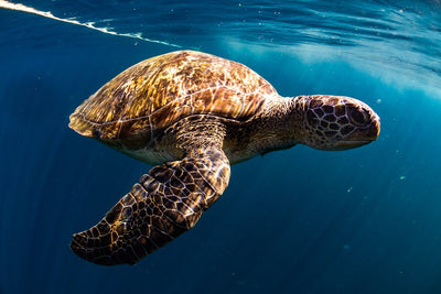 Can A Sea Turtle Eat A Box Jellyfish?