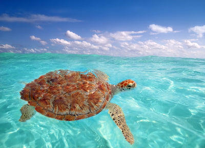Can you keep sea turtles as pets?