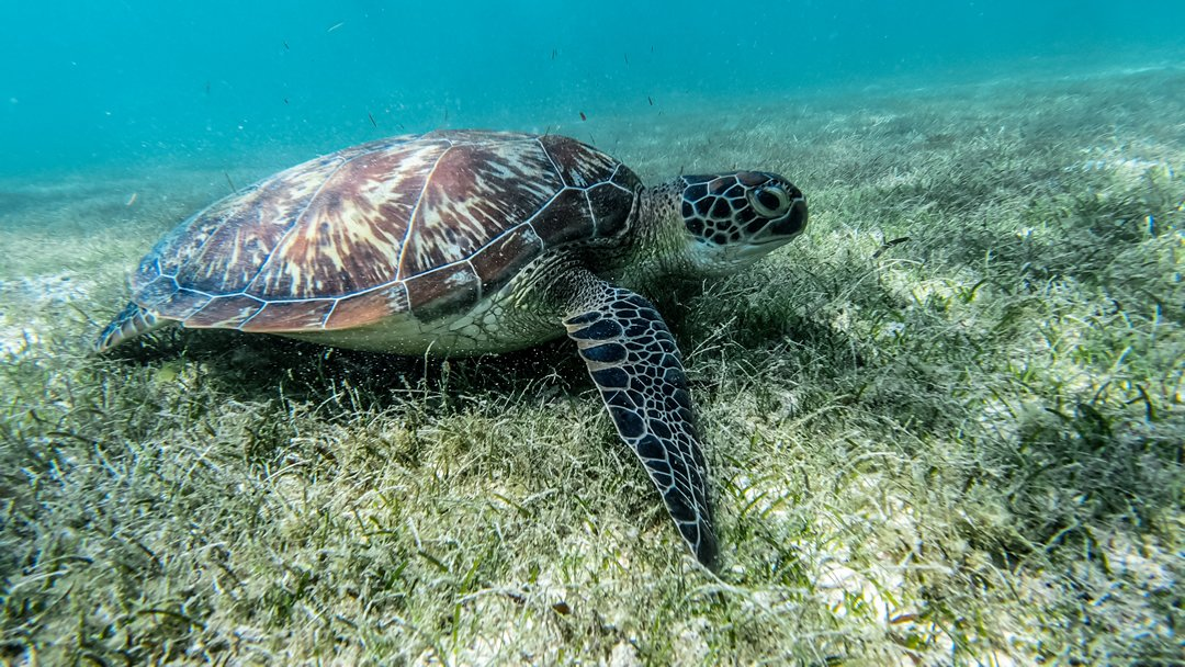 Do sea turtles have a permanent home?