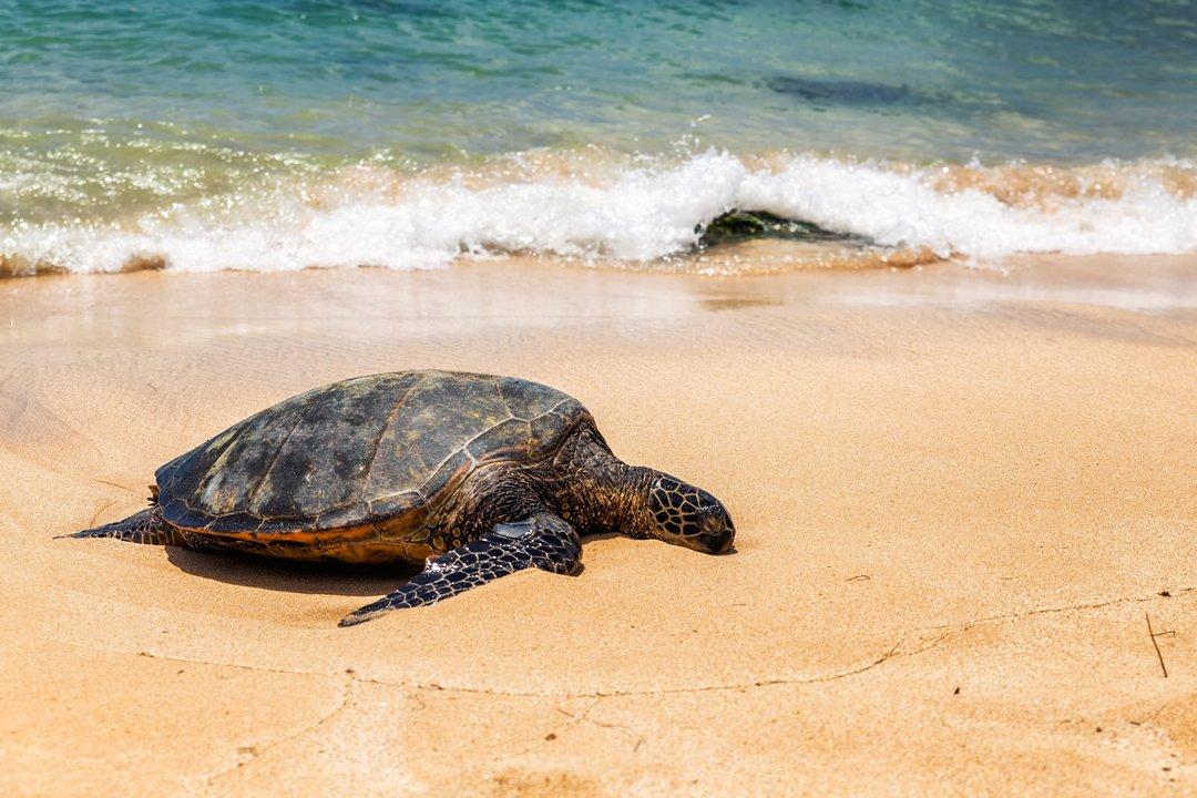 Why do sea turtles cry when they lay eggs?