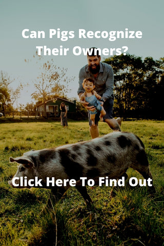 Can Pigs Recognize Their Owners