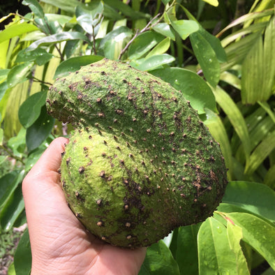 🌈Soursop Heaven + What's in Season + Harvest Update 😍