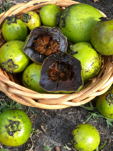 Black Sapote Season is almost over 💚 Harvest Update 🌈