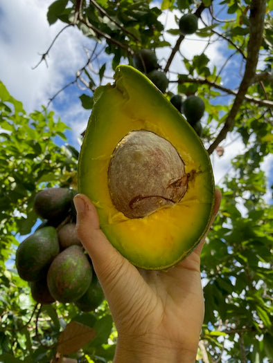 🥑We are harvesting some AMAZING avocado varieties today! 🥑