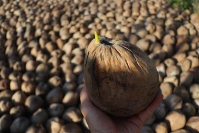 🌴EVERYTHING YOU'VE EVER WANTED TO KNOW ABOUT SPROUTED COCONUTS 🌴