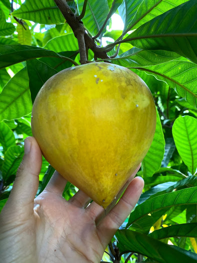 Now is the time to try Eggfruit aka Canistel 💛