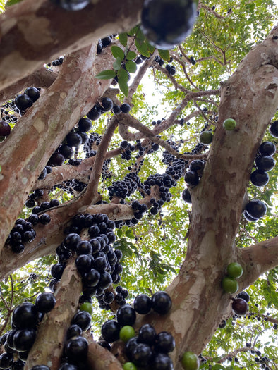 🖤Jaboticaba trees are fruiting! 🌳