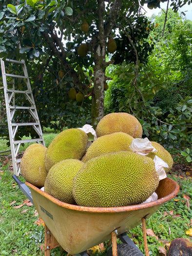 Mushy Jackfruit in season! 💛
