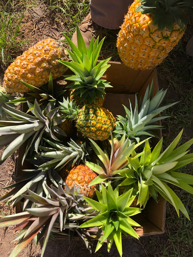 🍍Pineapple Season is HERE!